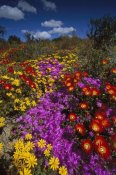 Tui De Roy - Dewflowers and other blooms, Little Karoo, South Africa