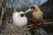 Tui De Roy - Red-footed Booby parent and chick, Wolf Island, Galapagos Islands, Ecuador