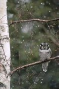 Michael Quinton - Northern Hawk Owl perching on branch during snowfall in the spring, Alaska