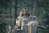 Michael Quinton - Great Gray Owl with owlets in nest cavity atop snag, spring, Idaho