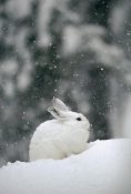 Michael Quinton - Snowshoe Hare in snowfall, Yellowstone National Park, Wyoming
