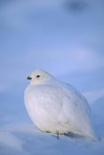 Michael Quinton - Willow Ptarmigan with white winter plumage, Alaska