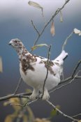 Michael Quinton - Willow Ptarmigan with fall plumage, Alaska