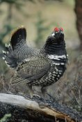 Michael Quinton - Spruce Grouse male courting, Alaska