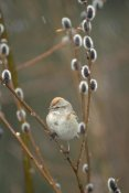 Michael Quinton - American Tree Sparrow in Pussy Willow during snowfall, spring, Alaska