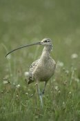 Michael Quinton - Long-billed Curlew walking through field, summer, Idaho