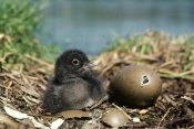 Michael Quinton - Common Loon chick with hatching egg, summer, Wyoming