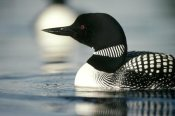 Michael Quinton - Common Loon adult on lake in the summer, Wyoming