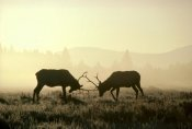 Michael Quinton - Elk two males sparring in the fall, Yellowstone National Park, Wyoming