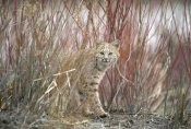 Michael Quinton - Bobcat juvenile emerging from dry grass in the spring, Idaho