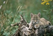 Michael Quinton - Bobcat kitten, resting on a log in the summer, Idaho