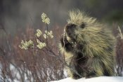 Michael Quinton - Common Porcupine feeding on Pussywillow, spring, Alaska