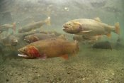 Michael Quinton - Cutthroat Trout underwater group in the spring, Idaho