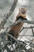 Michael Quinton - American Marten in tree in the winter, Idaho