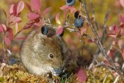 Michael Quinton - Northern Red-backed Vole feeding on berries in the fall, Alaska