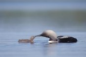 Michael Quinton - Pacific Loon parent feeding chick, North America