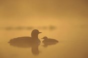 Michael Quinton - Pacific Loon parent and chick on misty lake, North America
