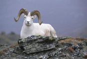 Michael Quinton - Dall's Sheep ram resting on hillside, Alaska