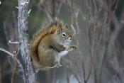 Michael Quinton - Red Squirrel feeding on willows,  Alaska