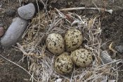Michael Quinton - Semipalmated Plover eggs in nest, Alaska