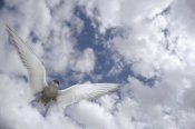 Michael Quinton - Arctic Tern flying against cloudy sky, Alaska