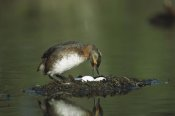 Michael Quinton - Horned Grebe adult on floating nest with eggs, Alaska