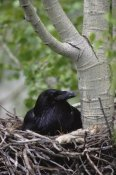 Michael Quinton - Common Raven incubating eggs on its nest, Idaho