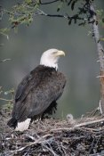 Michael Quinton - Bald Eagle parent on nest with chick, Alaska