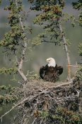 Michael Quinton - Bald Eagle calling on nest, Alaska