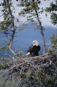 Michael Quinton - Bald Eagle parent on nest, Alaska