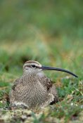 Michael Quinton - Whimbrel nesting on tundra, portrait, Alaska