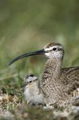 Michael Quinton - Whimbrel chick with parent, Alaska