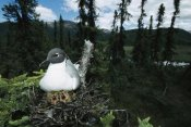 Michael Quinton - Bonaparte's Gull on nest in tree with two chicks, Alaska