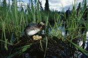 Michael Quinton - Horned Grebe with chick and eggs in nest on boreal pond, Alaska