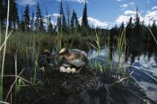 Michael Quinton - Horned Grebe pair at nest with eggs in boreal pond, Alaska