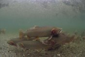 Michael Quinton - Yellowstone Cutthroat Trout school swimming in stream, Idaho