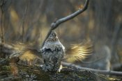 Michael Quinton - Ruffed Grouse male drumming during courtship, North America