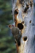 Michael Quinton - Northern Flicker woodpecker near nest cavity, Slana, Alaska