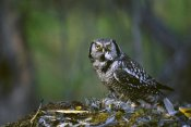 Michael Quinton - Northern Hawk Owl feeding on prey, Slana, Alaska