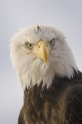 Michael Quinton - Bald Eagle portrait, Alaska