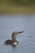 Michael Quinton - Red-throated Loon in water, Alaska
