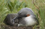 Michael Quinton - Red-throated Loon with day old chick on nest, Alaska