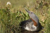 Michael Quinton - Red-throated Loon snaps at dragonfly while incubating eggs in nest, Alaska