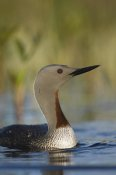 Michael Quinton - Red-throated Loon in breeding plumage, Alaska