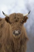 Michael Quinton - Cattle, a highland breed, Kodiak Island, Alaska
