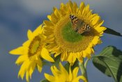 Tim Fitzharris - American Painted Lady butterfly on sunflower, New Mexico