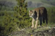 Tim Fitzharris - Mountain Lion walking across open ground, North America