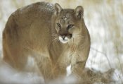 Tim Fitzharris - Mountain Lion portrait in winter, Montana