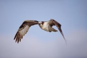 Tim Fitzharris - Osprey adult flying, Baja California, Mexico