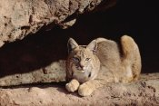 Tim Fitzharris - Bobcat adult resting on rock ledge, North America